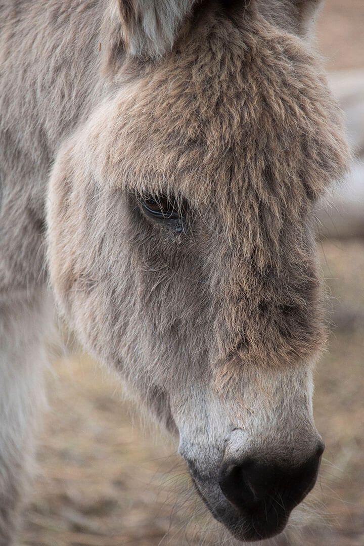 burro4