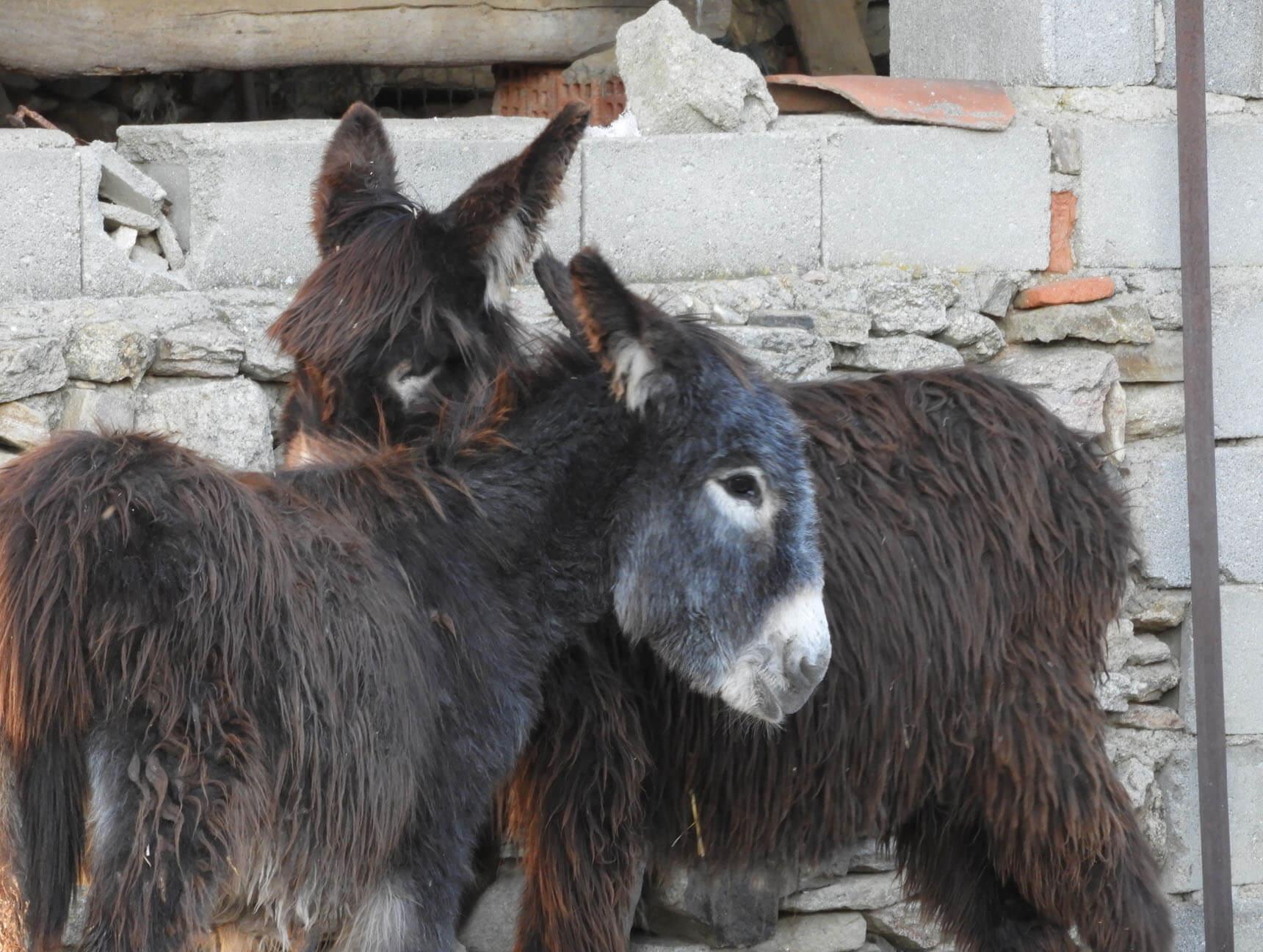 burros2
